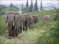 """Lawrence Anthony (1950–2012), a legend in South Africa and author of 3 books including the bestseller """"The Elephant Whisperer,"""" bravely rescued wildlife and rehabilitated elephants all over the globe from human atrocities.   2 days after his passing, the wild elephants showed up at his home led by two large matriarchs. Separate wild herds arrived in droves to say goodbye to their beloved man-friend'. A total of 31 elephants had patiently walked over 12 miles to reach his South African House"""