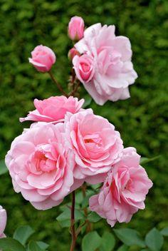 Розы секси рекси