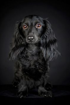 Black long-haired Dachshund