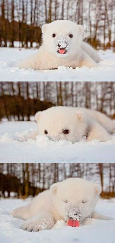 Baby polar bear playing with snow.