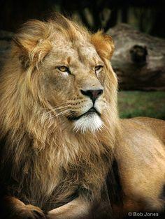 ~~A Regal Pose - majestic male lion by Bob Jones~~