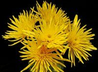 spider chrysanthemum, head flower, bulk flower