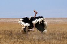 We were fortunate to catch this fight between two male ostriches in Ngorongoro Crater who were vying for the affection of a female. The fight and subsequent chase went on for several minutes before a victor emerged. In the end, the female was unimpressed and simply turned her back and walked away.    Photo by Thomson Safaris' guest, Nick Masington, on a Signature Thomson Safari in September 2011.