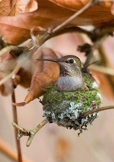 Hummingbird on nest!    Photo source http://paws-seattle.typepad.com/files/campus-update-031212.pdf  Via @Molly Simon Simon Simon Simon Reagan Axt