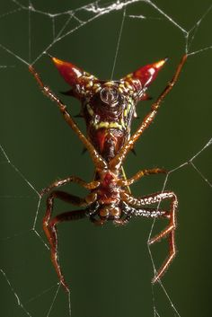 Devil Mask Spider. E Gads!!  Must be from Australia!! They have soooo many deadly bugs, it's crazzzy!!