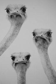 Ostrich faces