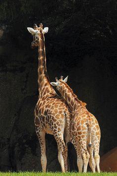 giraffes giraffesgentl giant, lean, giraff obsess, animals, critter, airports, creatur, coolers, africa