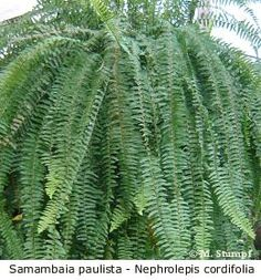 Samambaia paulista, samambaia de metro, nephrolepis cordifolia