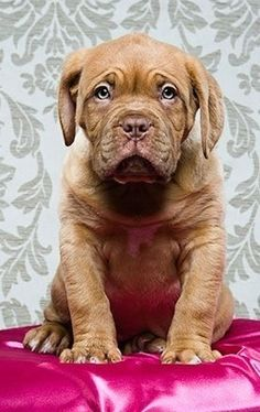 Dogue de Bordeaux ( #French #Mastiff )