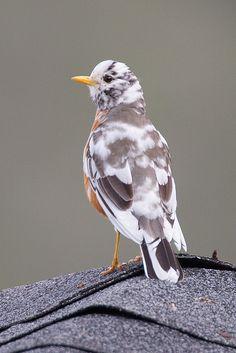 American Robin (leucistic)