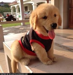 Super Cute Golden Retriever Puppy <3