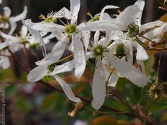 Amelanchier laevis 'Spring Flurry'  	SPRING FLURRY SERVICEBERRY	deciduous flowering tree	                sun to part shade	                    Mature size: 28'Hx20'W	             Upright oval	                        SPRING: White flowers from pink buds 	                              SUMMER: Sweet purplish black berries	                                      FALL COLOR: Orange	                           FOLIAGE: Medium green	              Attracts birds              Wet to dry soil	Native