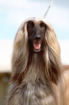 Afghan Hound pictures... #dog #animal #afghan #hound