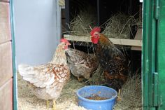 Natural Chicken Keeping: How Much Coop and Run Space Do I Need?