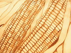 drawing of corn ear | Back to Art: Indian Corn Pencil Drawing