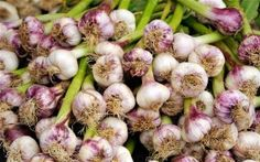 Perennial Garlic - Plant It once and Harvest For 20 years!
