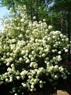 Viburnum (snowball bush)  I can't wait for mine to  get this big !!!! It's on it's way though.