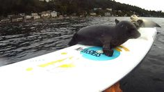 Seal Pup Slip n' Slide (surfboard remote camera), via YouTube. adorable!