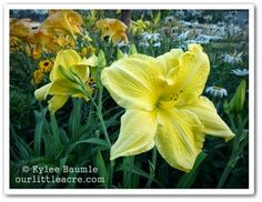 "Our Little Acre: ""Daylily Proliferations"""