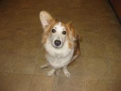 Liam is an adoptable Corgi Dog in Plainfield, IL. Meet Liam! Liam is a 8 month old corgi/sheltie mix. He is affectionate, very smart and easy to train, housebroken, would love a canine companion (this...