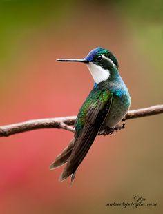 ~~Little Gem From Savegre~~ anim, ahhhh hummingbird, treasur, white throat, hum bird, costa rica, beauti, judylynn malloch, mountain gem