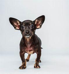 Ullie the Chihuahua Dachshund Mix chihuahua dachshund, puppies, chihuahuas, dachshunds, dachshund mix, dog, puppi bowl, 12 week, bowls
