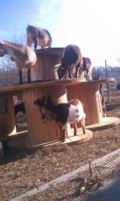 Having spools like these for your goats encourages exercise and improves their health #goatvet.