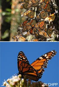 Save Monarch Butterfly Habitat at The Rainforest Site