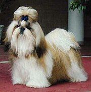 Shih Tzu Grooming tips. How to give a Shih Tzu a Haircut.  Several styles are explained