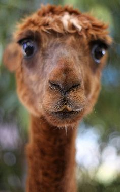 big-eyed llama