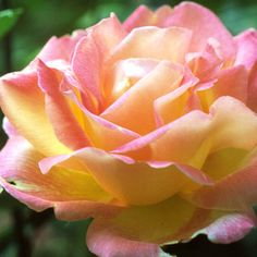 Chicago Peace Rose.   Displays a permanent deep pink blush on petals reversed in golden yellow. The large, petal-packed blooms open from shell-shape buds. The tall plant stands up to heat and cold extremes, with glossy, light green foliage. It grows 5-6 feet tall. Zones 5-9