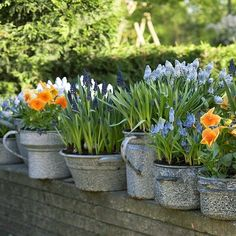 spring bulbs and pansies planted in a variety of different enamel containers...unified color makes it work!