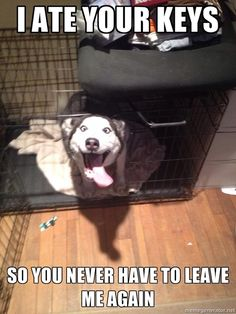 Overly Attached Husky named Shelby...
