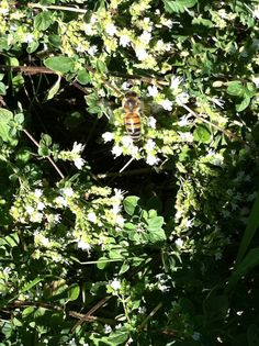 Honey bees love the flowering oregano.  There are more than a dozen of them buzzing around it