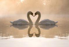 Swan sweeties.