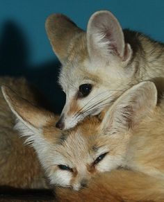 Fennec Foxes by Mark Dumont