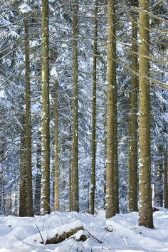 Winter Forest - by Christopher Waddell