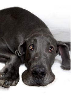 George, world's largest dog.