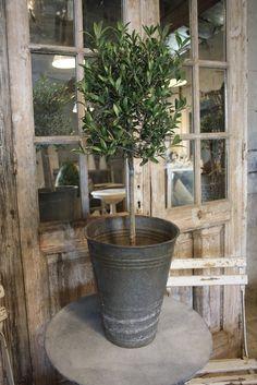 Olive in Zinc Flower Bucket