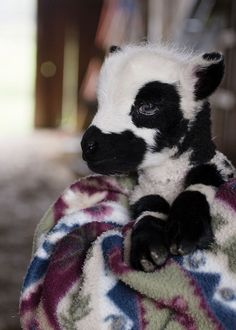 cute black and white baby lamb