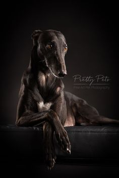 Greyhound elegant #dogsphotography Elegant lying Greyhound against black backdrop. Dog photography by prettypets.be