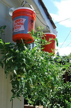 tomato plant in a bucket | Bill's upside-down tomato plants (photo by kkimpel - CC-BY)