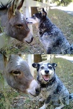 Oh my love for heelers :)