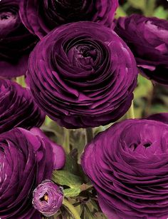 Beautiful flowers and color; deep purple ranunculus.