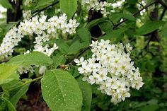 Ieva - is a bird-cherry tree in Lithuanian// I don't know a Lithuanian wherever she/he lives who doesn't get thrills from the powerful smell of a blooming bird-cherry tree//