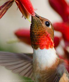 .Humming bird