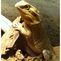 Peanut, my bearded dragon! One of the best reptiles to ever own. :)