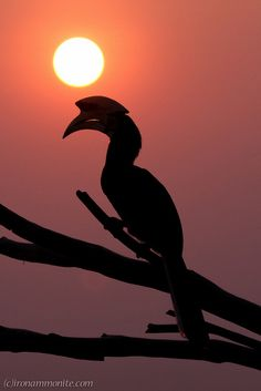 Oriental Pied Hornbill - Sunset on Pangkor Island, Malaysia by Paul Williams (Iron Ammonite), via Flickr