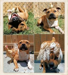 animals, dogs, animal kingdom, roosters, pet