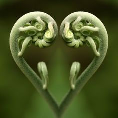 plant, fern, nature beauty, valentine day, green, heart shapes, mirror image, fractal, mother nature
